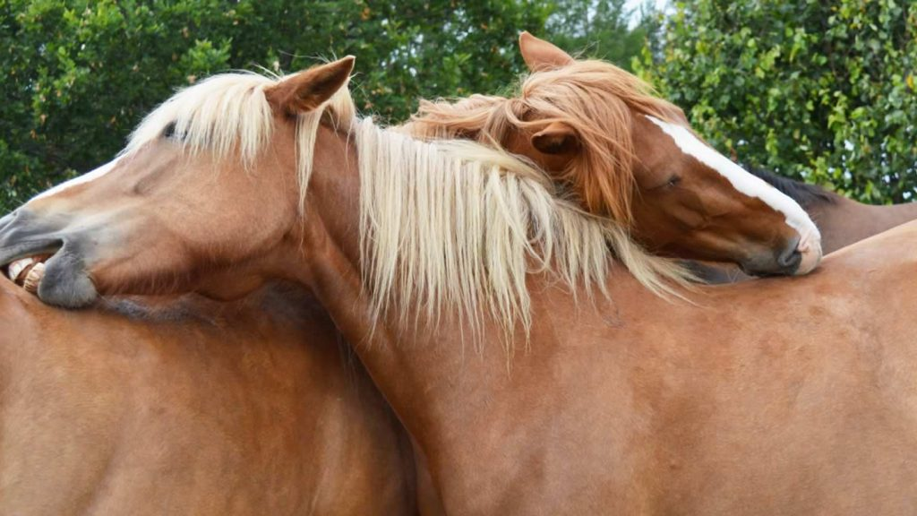 BANNER hevoset kutisee - hästar kliar - horses itching