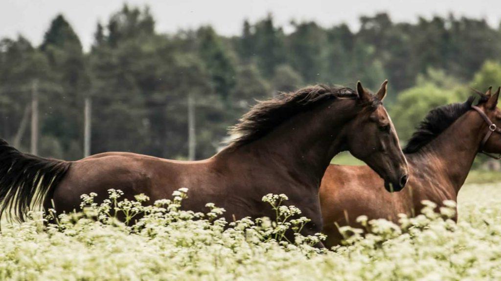 hevoset laitumella 2 - hästar på betet 2- horses on paddock 2 (1)
